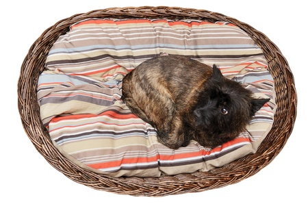 Cairn Terrier in her basket on the striped mattres photo