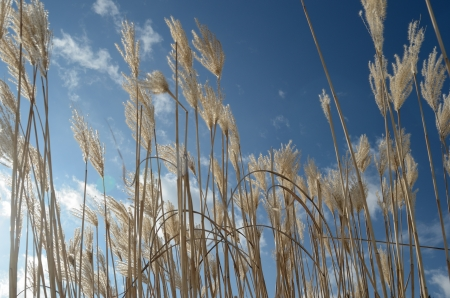 reed against the blue sky with clouds, horizontal Stock Photo
