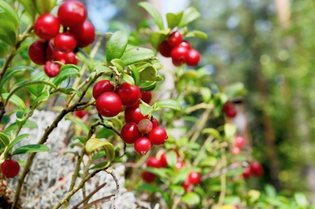 close-up berry cranberries and moss in the forest Stock Photo