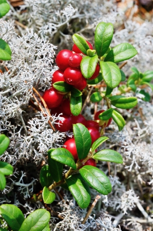 close-up of berry cranberries and moss in the forest