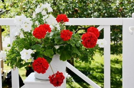 geranium flowers in white pot on the balcony