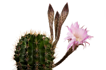 unsolved: close up of blooming cactus with unsolved buds Stock Photo