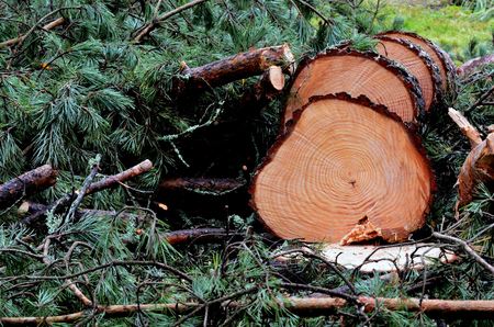 felled: felled pine tree in the forest, horizontal Stock Photo