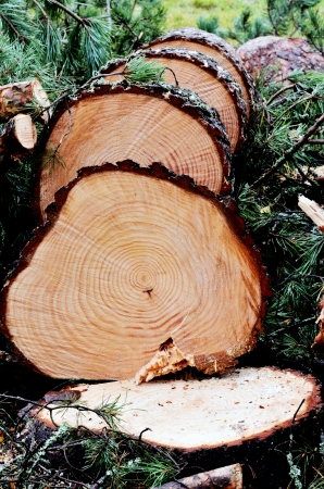 felled: felled pine tree in the forest, vertical Stock Photo
