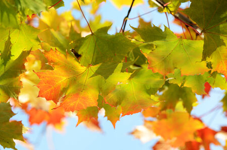 wasatch: autumn leaves against the clear blue sky