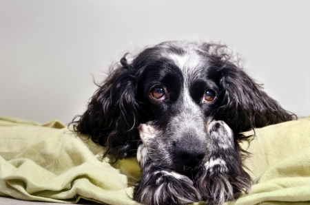 dolorous: spaniel sad looking at the camera with her head resting on his paws Stock Photo