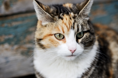 tricolor cat looking away close up face Stock Photo - 25299115