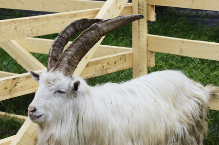 goat in a wooden pen, horizontal photo photo