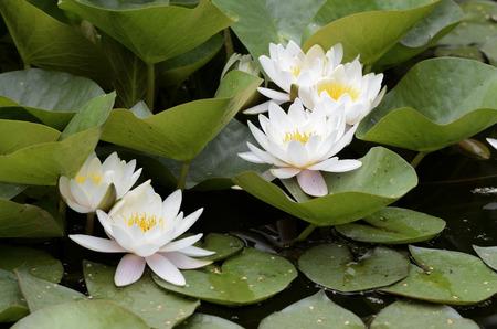 lirio blanco: flores blancas y hojas de nenúfares