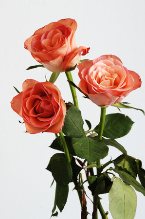 veneration: three pink roses with green leaves on a neutral background Stock Photo