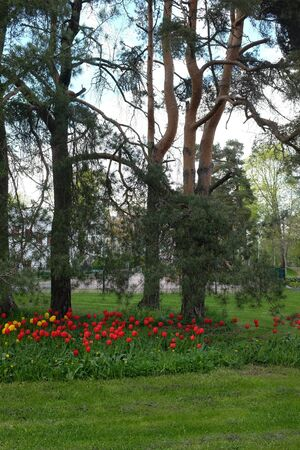 lawn area: bed of tulips, lawn and pine trees in a residential area, Jarvenpaa, Finland Stock Photo