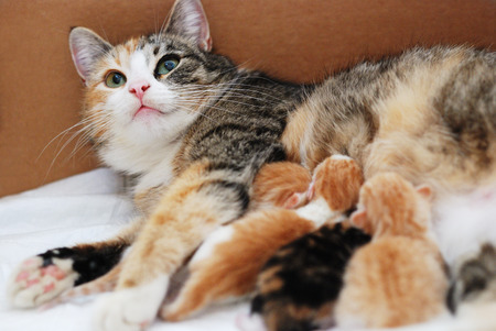 calico whiskers: cat feeding little kittens in a cardboard box