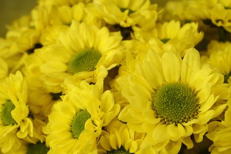 burgundy colour: beautiful bouquet of bright yellow chrysanthemums, horizontal