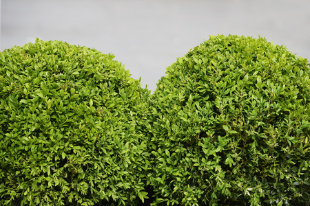 boxwood: spherical boxwood shrubs on a gray background Stock Photo