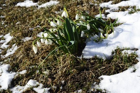clearing: blooming primroses in a clearing with snow Stock Photo
