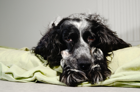 spaniel sad looking at the camera with her head resting on his paws Stock Photo