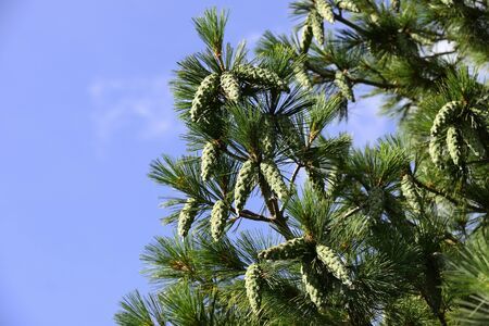 pine branch with cones against the blue sky