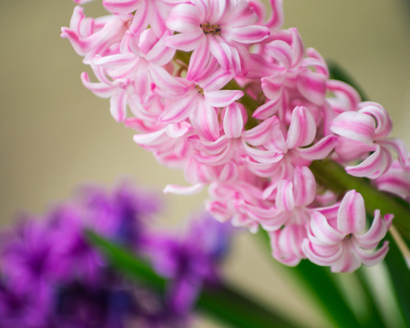hyacinths: Purple hyacinths in the garden