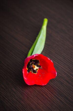 Beautiful red tulip on dark background photo