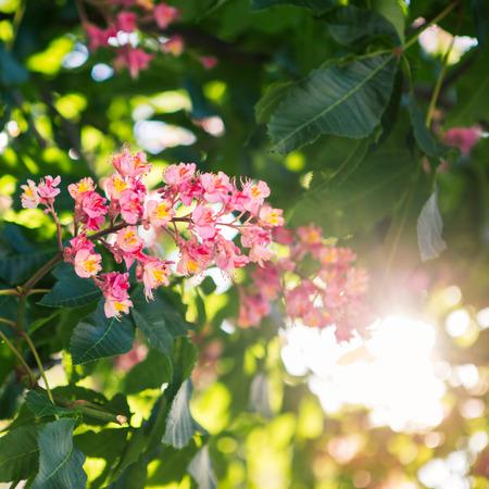 Pink flowers of a chestnut tree stock photo picture and royalty pink flower of chestnut tree photo mightylinksfo Gallery