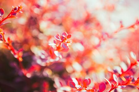 colorfully: red leaves of  barberries in the sunlight