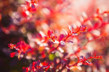 barberries: red leaves of  barberries in the sunlight