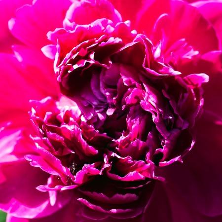 garden of eden: Close up shot of a Pink Peony Stock Photo