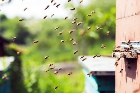 abejas: Las abejas de miel y un enjambre volando alrededor de su colmena