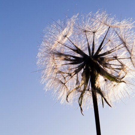 villus: Dandelion with seeds blowing away in the wind across a clear blue sky