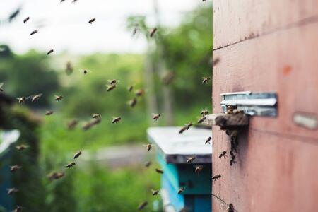 colmena: Las abejas de miel y un enjambre volando alrededor de su colmena