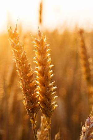 wheat field: backdrop of ripening ears of yellow wheat field on the sunset cloudy orange sky background Copy space of the setting sun rays on horizon in rural meadow Close up nature photo  Idea of a rich harvest