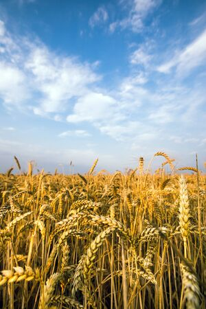 harvest field: Gold field of wheat against blue sky Stock Photo
