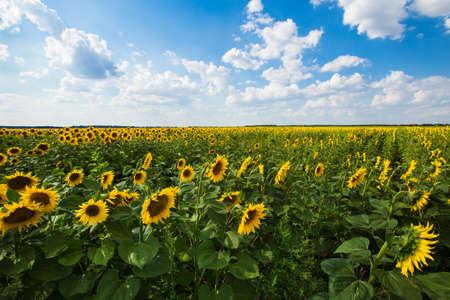 cielo azul: Sunflower with blue sky and sky. Summer landscape
