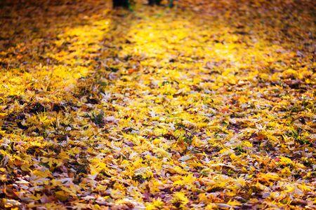 orange sunset: yellow autumn leaves. sunlight Stock Photo