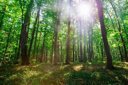 morning sun: Beautiful green forest. Nature