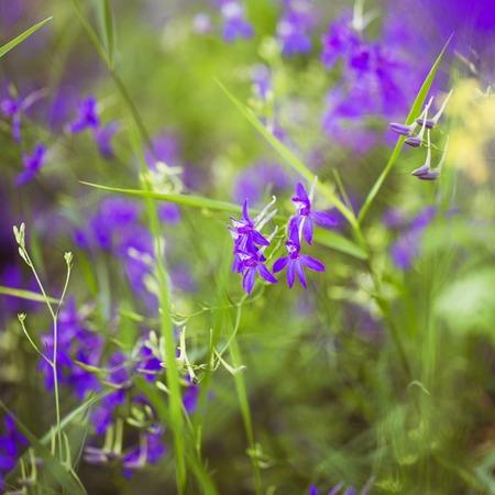 fireweed: Purple Alpine Fireweed closeup in last summer