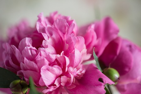 Bouquet of pink peonies on wooden background