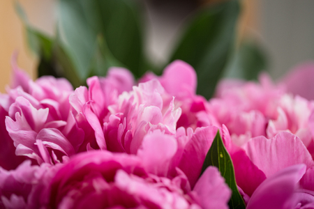 flori culture: Bouquet of pink peonies on wooden background