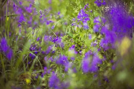 angustifolium: Purple Alpine Fireweed closeup in last summer