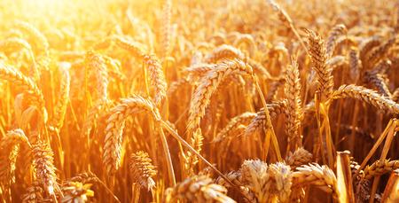 Weizenfeld. Ears of goldene Weizen Nahaufnahme. Schöne Natur-Sonnenuntergang-Landschaft. Landwirtschaftliche Landschaft unter Sonnenlicht scheint. Hintergrund der Ohren der Wiese Weizenfeld Reife. Reiche Ernte-Konzept Standard-Bild - 61251610