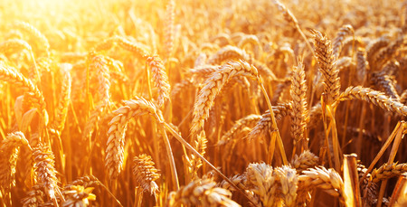 harvest field: Wheat field. Ears of golden wheat close up. Beautiful Nature Sunset Landscape. Rural Scenery under Shining Sunlight. Background of ripening ears of meadow wheat field. Rich harvest Concept