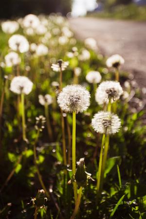 Dandelion, Dandelions flower, Seeds of dandelion