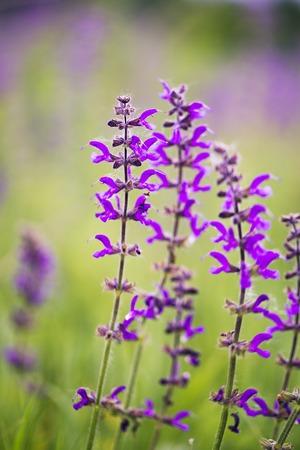 purple wildflowers Stock Photo