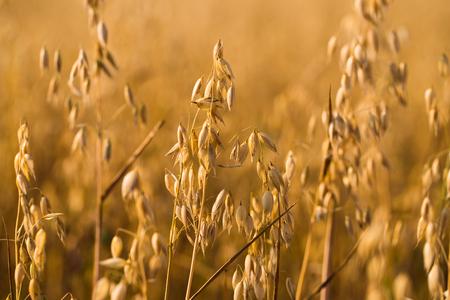 귀리 앞 필드입니다. 수확의 계절 스톡 콘텐츠