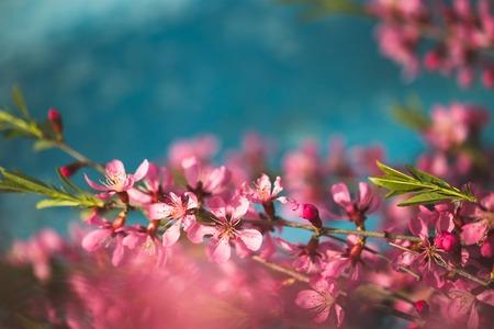 青色の背景に春の開花枝、ピンク花 写真素材