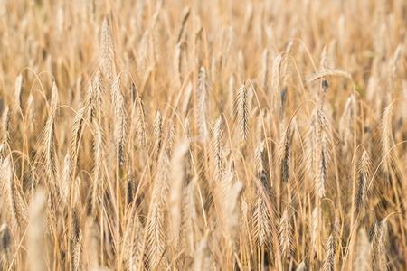 Weizenfeld . Ohren des goldenen Weizens hautnah Standard-Bild - 83535793