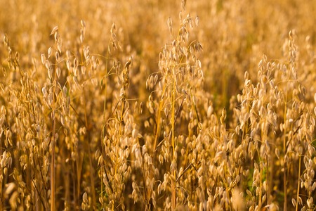 Field of oats in front. Harvest season