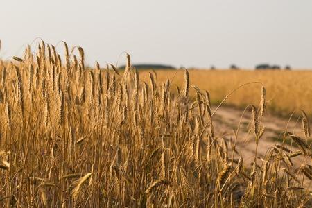 Weizenfeld . Ohren des goldenen Weizens hautnah Standard-Bild - 84123923