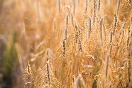 Weizenfeld . Ohren des goldenen Weizens hautnah Standard-Bild - 84086677