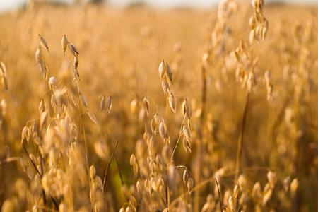 귀리 앞 필드입니다. 수확의 계절 스톡 콘텐츠 - 84123928
